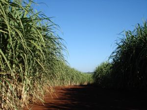 Sugarcane is a building block for biodegradable surfactants, agrochemicals and pharmaceuticals.