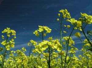 Oilseed rape makes a significant contribution to the agricultural economies of Europe, Australia, Canada, China and India.