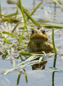 Cane toads need constant access to surface water.